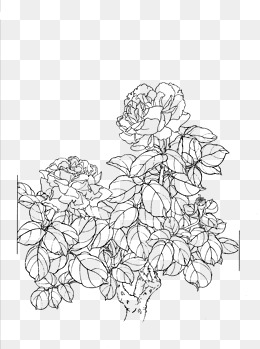 260x349 Peony Flower Line Drawing, Peony, Line Drawing, Artwork Png Image