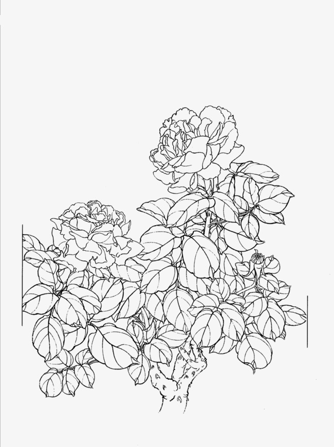 650x870 Peony Flower Line Drawing, Peony, Meticulous, Hand Painted Png