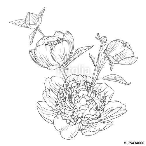 500x500 Peony Rose Flowers Bouquet Composition. Detailed Realistic Outline