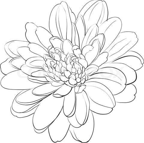 480x475 Simple Chrysanthemum Drawing
