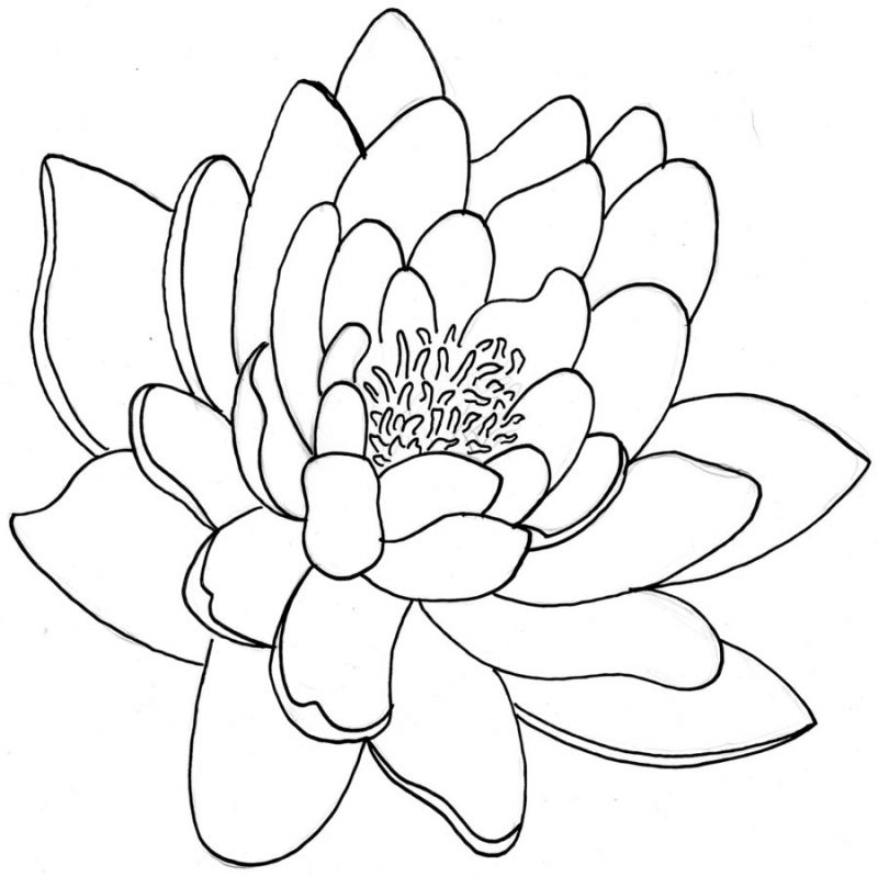 800x798 Simple Chrysanthemum Drawing