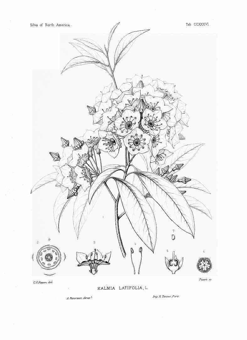 787x1080 Mountain Laurel Botanical Drawing Tattoo Botanical