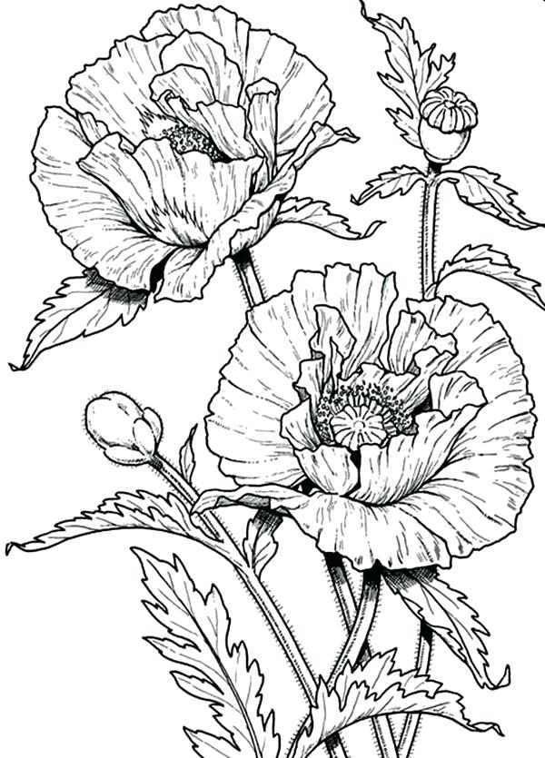 600x835 Wildflower Coloring Pages Poppy Coloring Page Beautiful Poppy