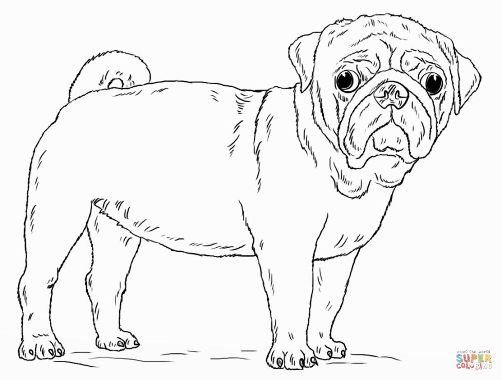 Simple Pug Drawing At Getdrawingscom Free For Personal