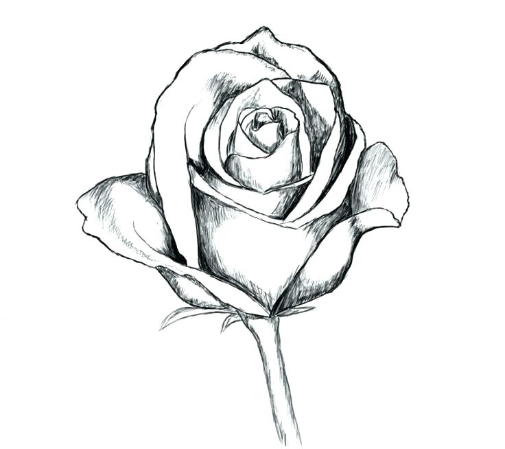 736x654 Drawn Rose Simple Rose Drawing Pencil Drawn Rose Flower Affan