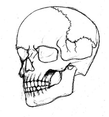 223x240 Simple Skull Side Drawing