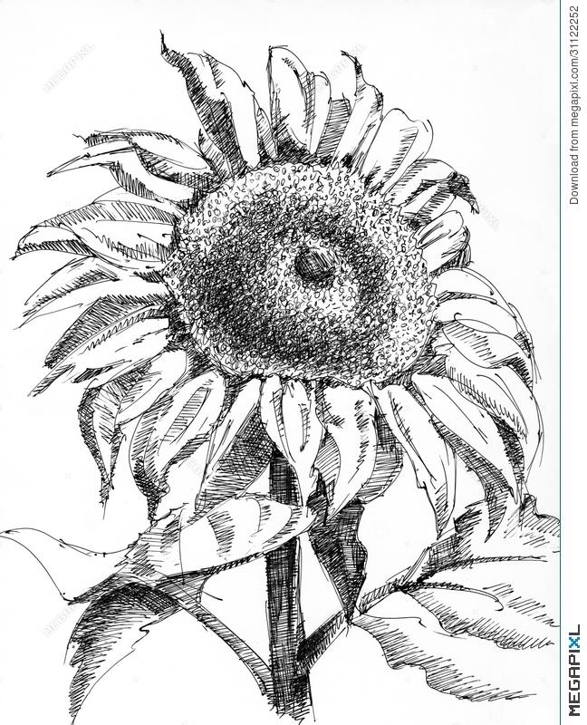 648x800 A Single Sunflower Illustration 31122252