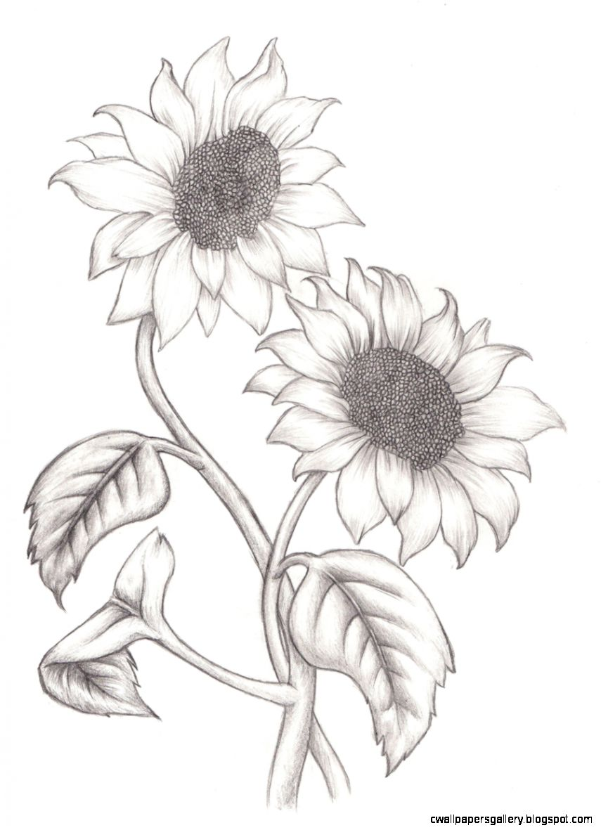 855x1181 Sunflower Drawing Wallpapers Gallery