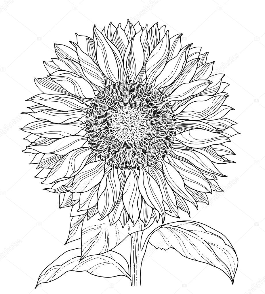 921x1024 Sunflower Stock Vectors, Royalty Free Sunflower Illustrations