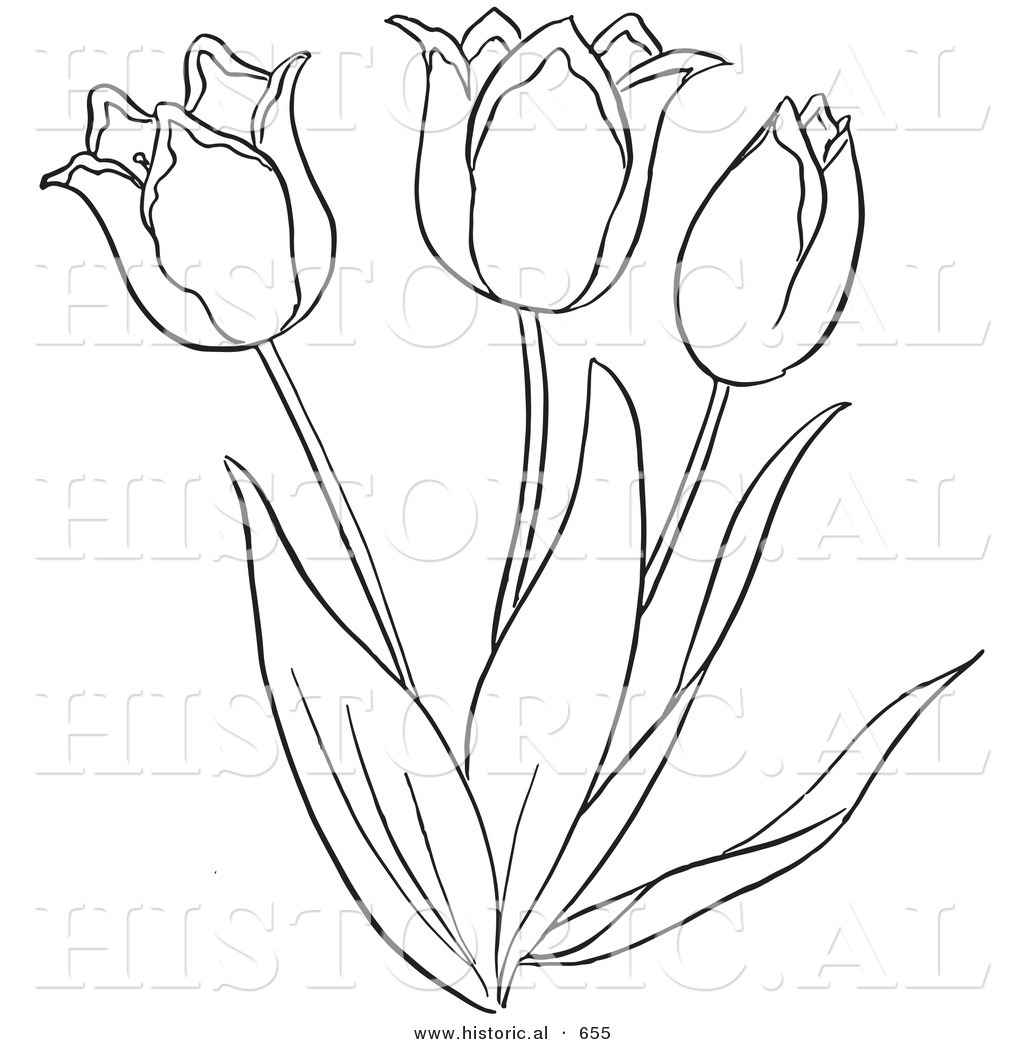 1024x1044 Historical Vector Illustration Of A Tulip Plant Flowering Outlined