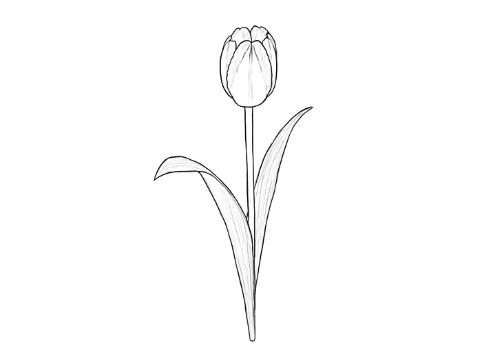 700x518 How To Draw Flowers The Noble And Sincere Tulip Sketchbook Blog