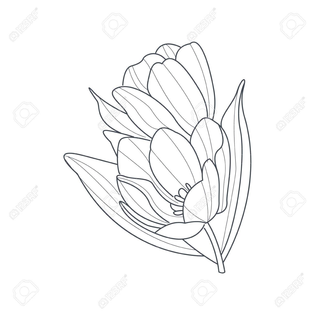 1300x1300 Tulip Flower Monochrome Drawing For Coloring Book Hand Drawn