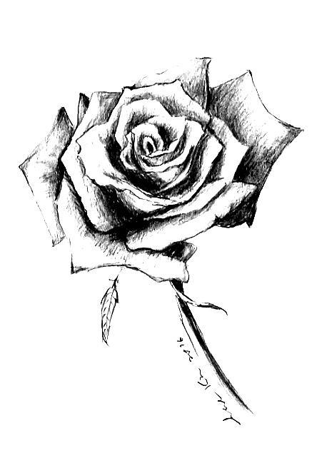 465x656 Single Rose Drawing By Hae Kim