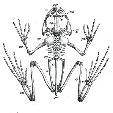 380x380 Frog Skeletal Anatomy Science Tips Anatomy