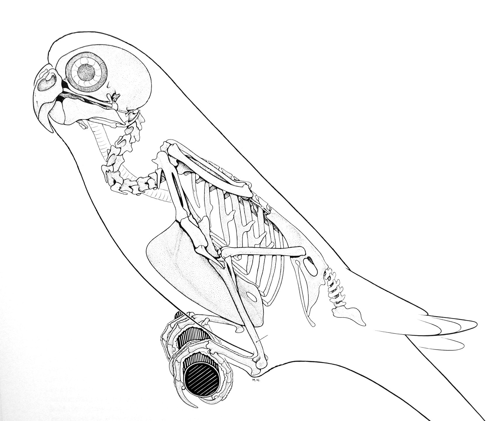 1721x1441 Animal Skeleton Images In Most Of The Smaller Birds Like This