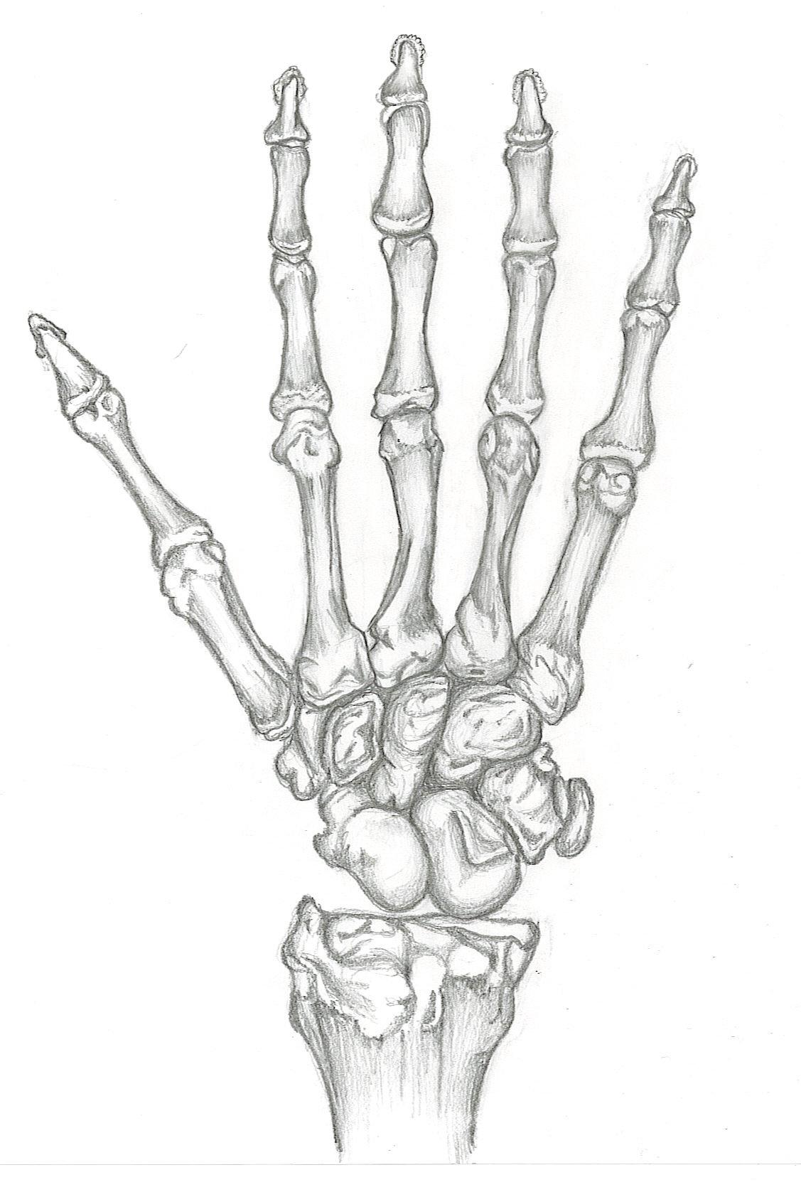 1127x1670 Study Of Skeleton Hand By Skeletonofarose