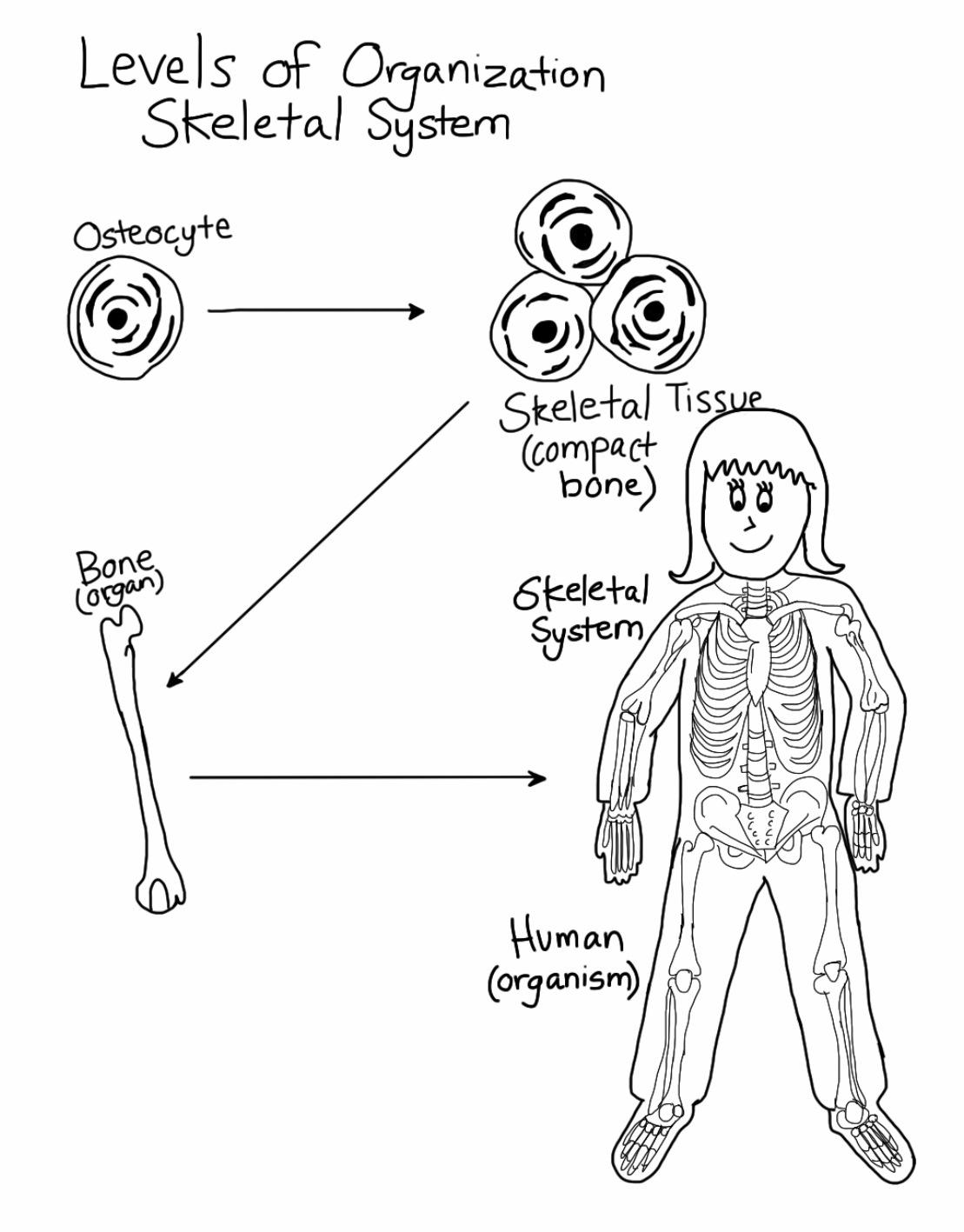 1109x1417 Skeletal System Levels Of Organization