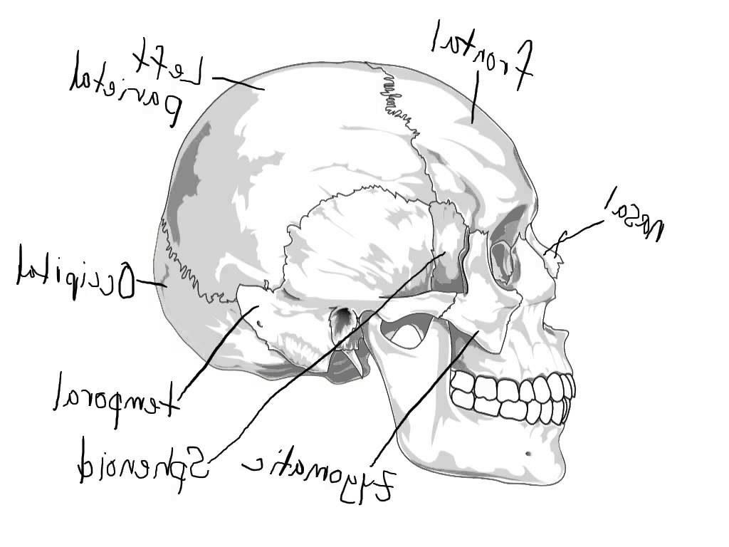 1024x768 Skeletal System Wallpaper