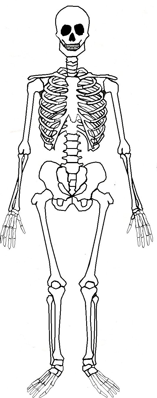 Skeletal System Drawing At Getdrawings Free For Personal Use