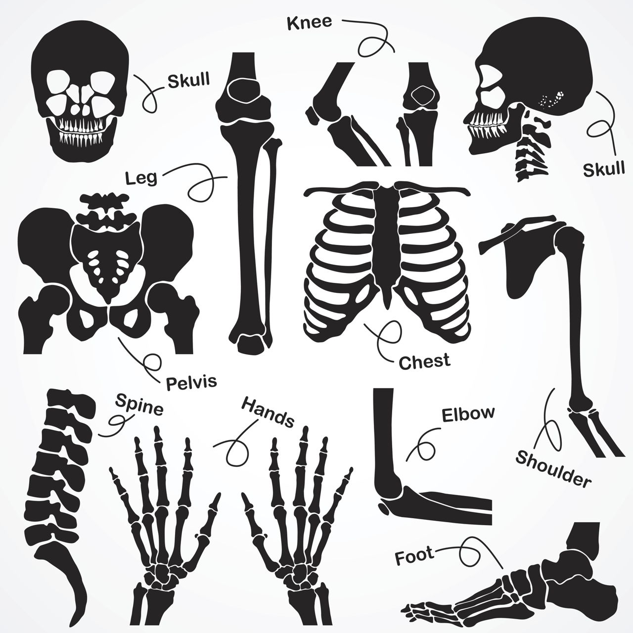 1280x1280 The Human Skeleton All You Need To Know