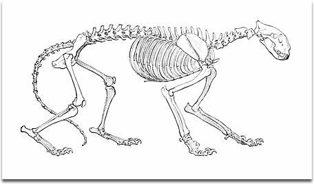 456x267 Tigers Skeleton And Internal Organs
