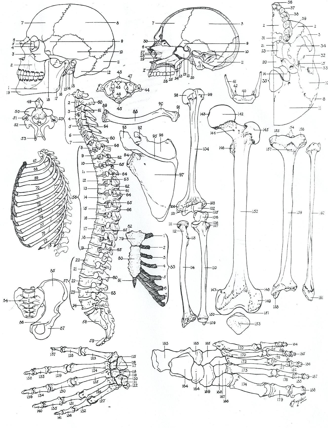 1328x1728 Printable Printable Bones Skeleton