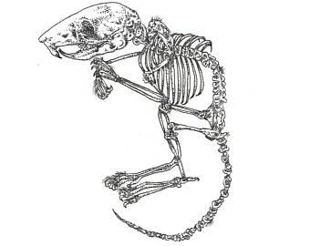 340x270 Mouse Skeleton Etsy