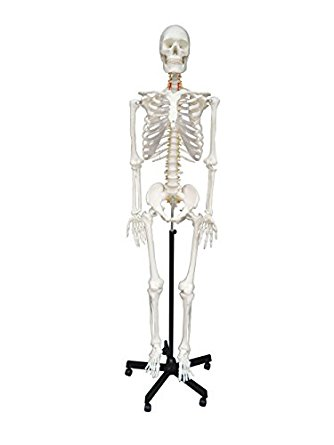 It's just an image of Breathtaking Life Size Printable Skeleton