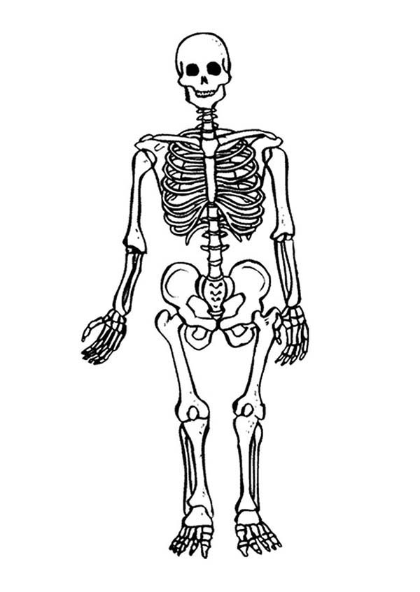 Skeleton Drawing For Kids at GetDrawingscom Free for personal use