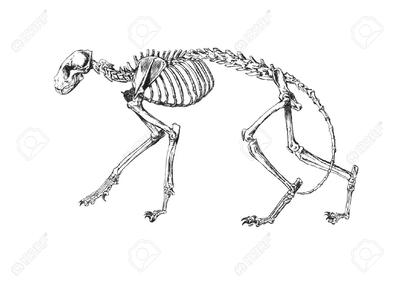 1300x1003 Drawing Of Cat Skeleton Stock Photo, Picture And Royalty Free