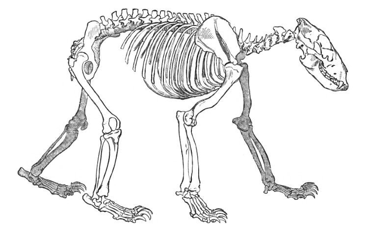 746x494 The Skeleton Of A Bear. Date 1896. Source The Royal Natural