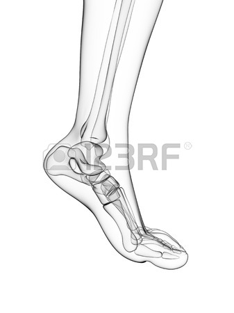 337x450 Bones Of The Feet,artwork Stock Photo, Picture And Royalty Free