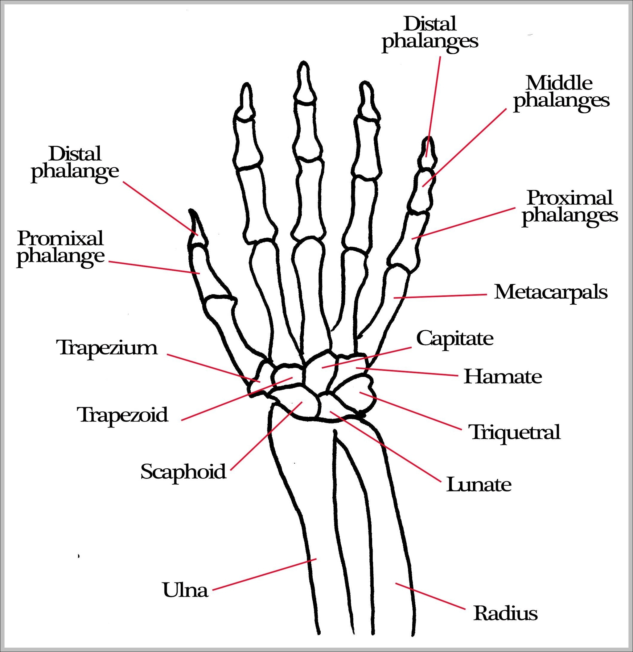 skeleton hand drawing on hand at getdrawings com free for personal rh getdrawings com Skeleton Hand Joints Diagram Skeleton Hand Joints Diagram