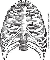 205x246 The Best Human Ribs Ideas On Rib Cage Drawing, Rib