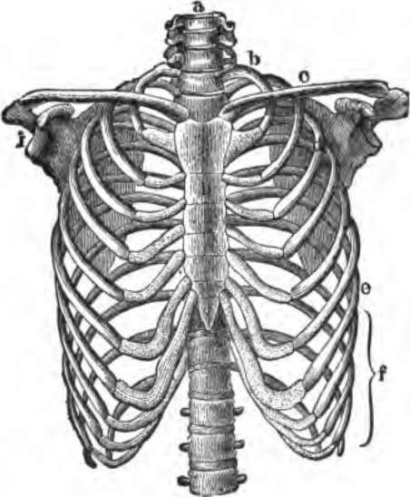 452x548 Skeleton Ribs Drawing