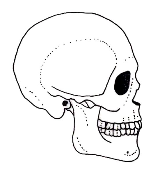 Skeleton skull drawing at getdrawings free for personal use 526x589 side view of a human skull ccuart Images