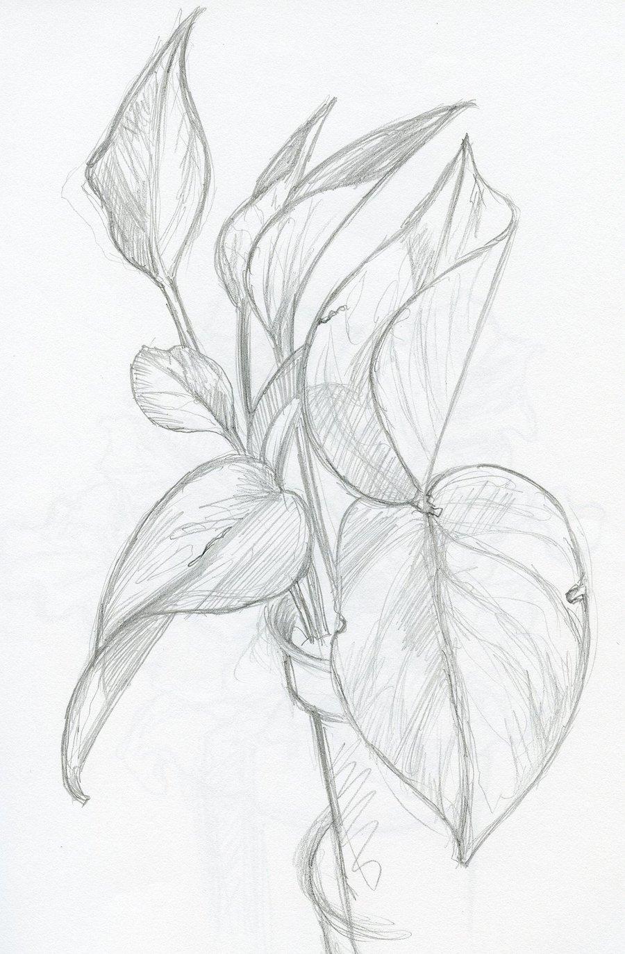 900x1373 Pencil Sketch Plants By Phebron