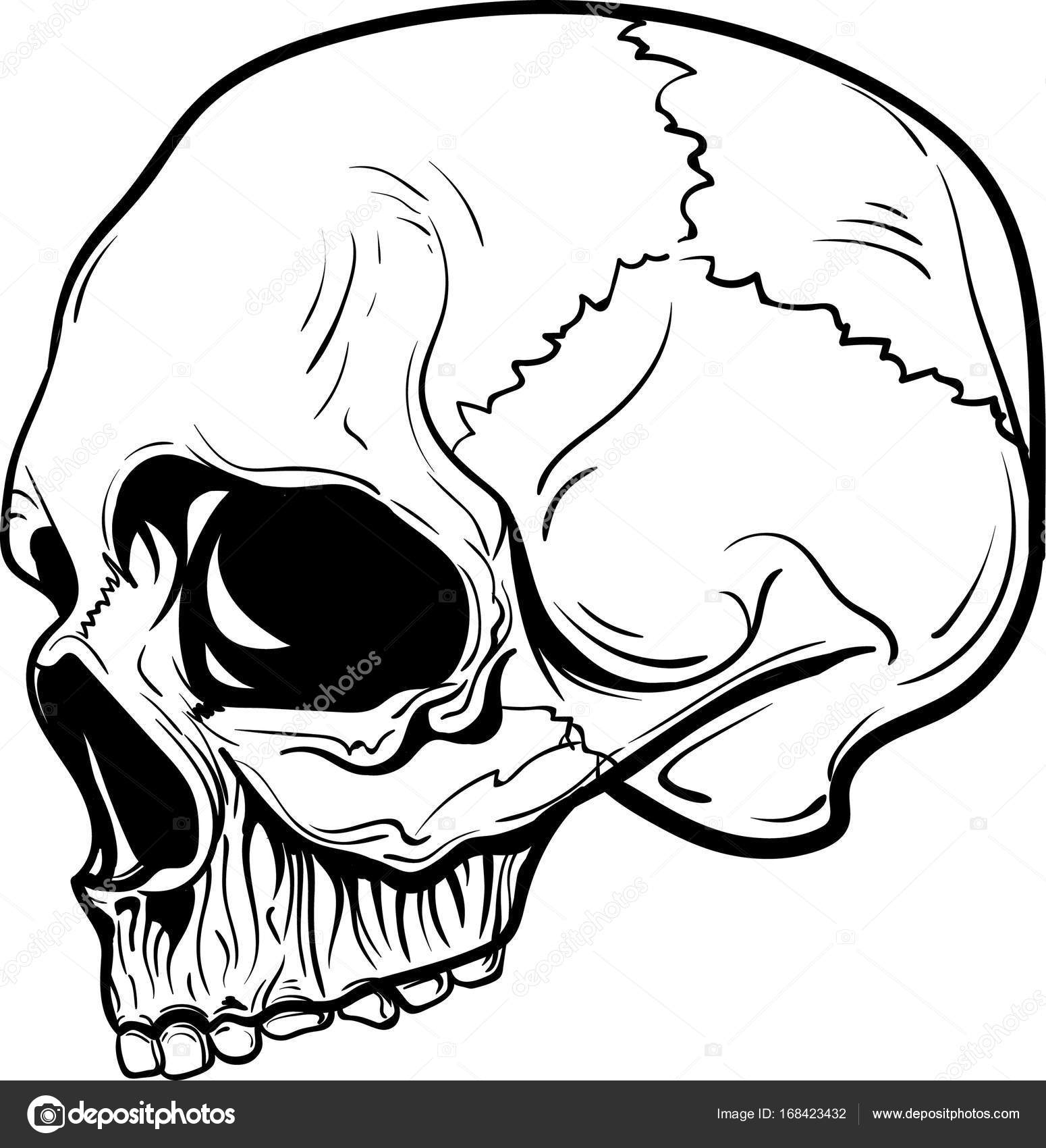 1550x1700 Hand Drawn Anatomy Skull Vector Stock Vector K Ssss