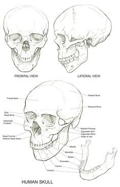 236x369 Human Skull Anatomy Drawing