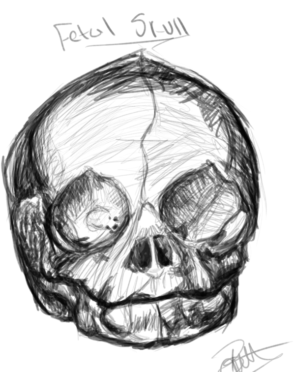 600x756 Anatomy Fetal Skull By Lithiumswirl