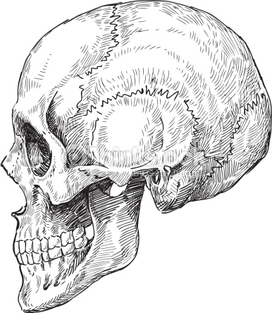 386x444 Arte Vectorial Human Skull Sketch Art Inspiration