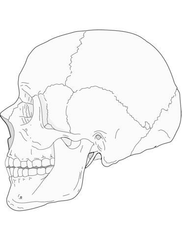 371x480 Human Skull Side View Coloring Page Free Printable Coloring Pages