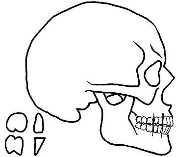 359x320 Drawing Of Skull Profile