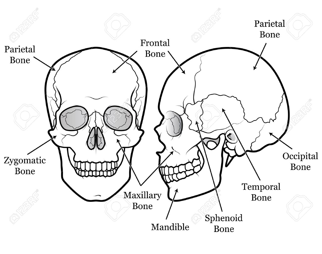 Labeled Mammal Skull Topsimages