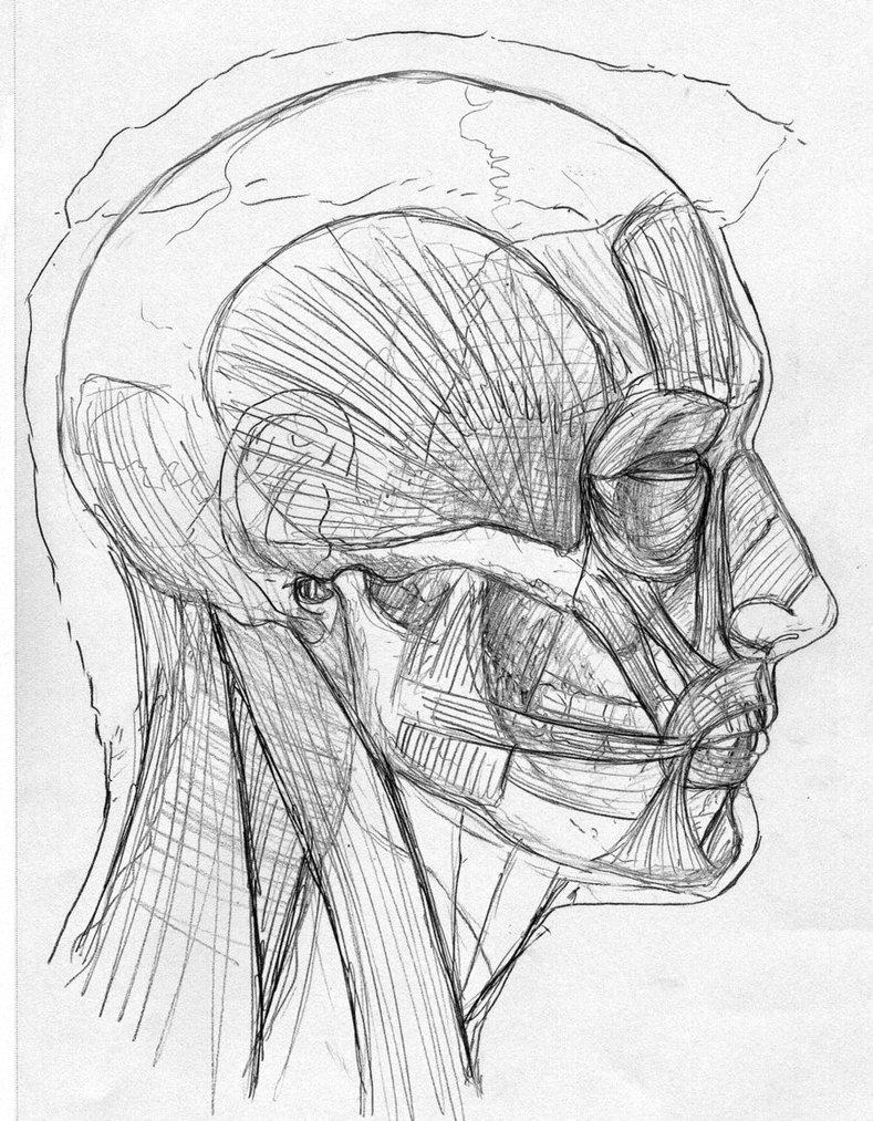 789x1013 Side View Skin, Muscles, Skull By Stevegibson