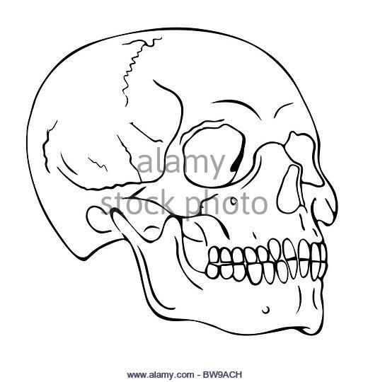 520x540 Skull Of Doom Stock Photos Amp Skull Of Doom Stock Images
