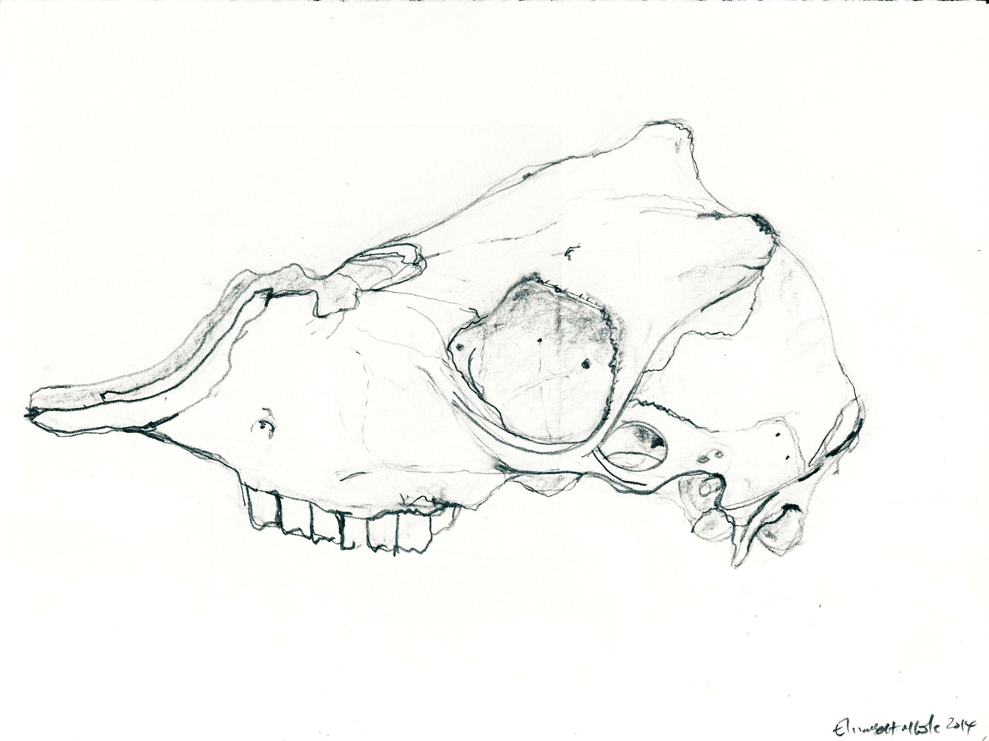 3284x2460 Drawing 2014 Lamb's Skull Side On X 2 Elizabeth M. Cole Artist