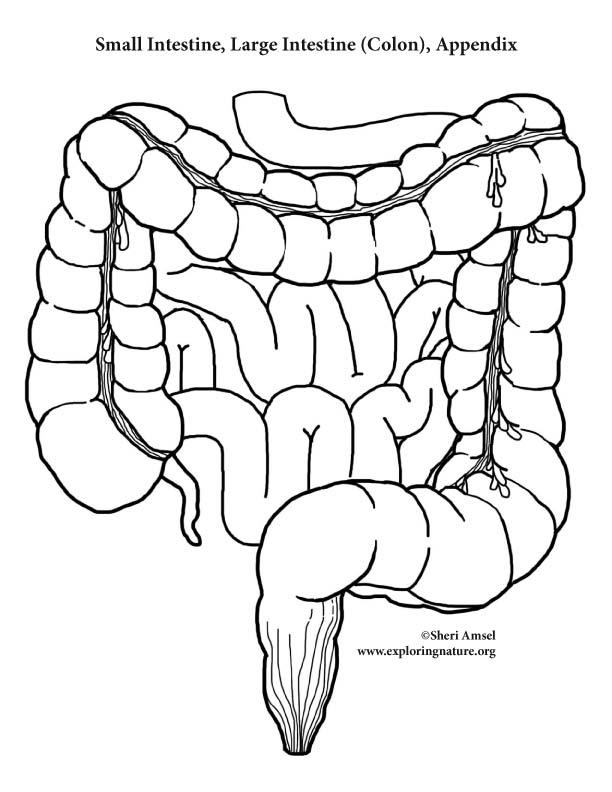 Small Intestine Drawing At Getdrawings Com