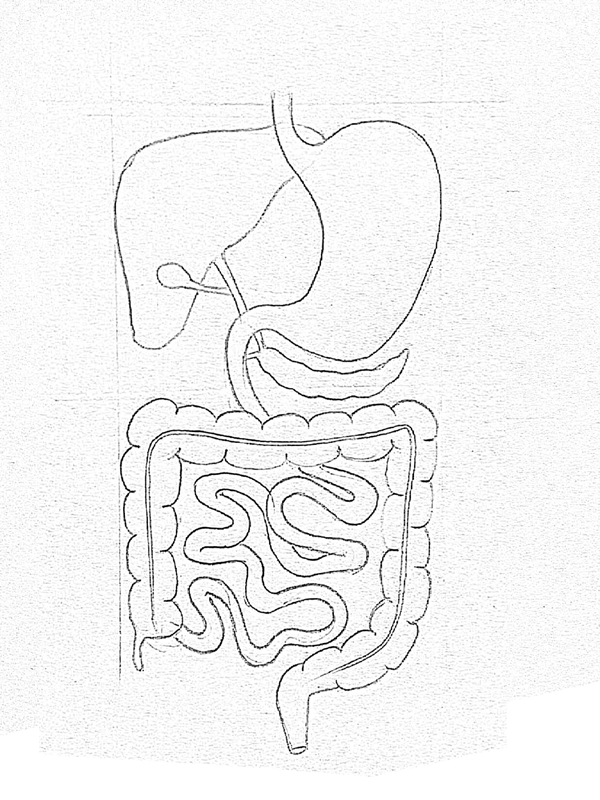 Small Intestine Drawing At Getdrawings Free For Personal Use