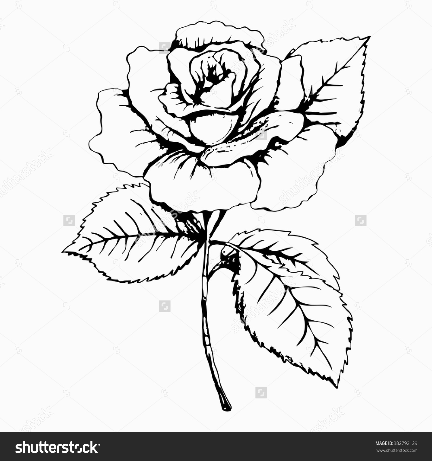 1500x1600 Flower Rose Sketch Painting Hand Drawing White Bud Petals Save